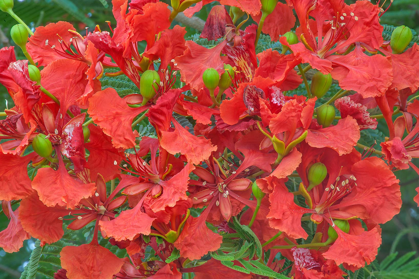 Photo 1587 12 red flowers of royal poinciana tree for Tree with red flowers