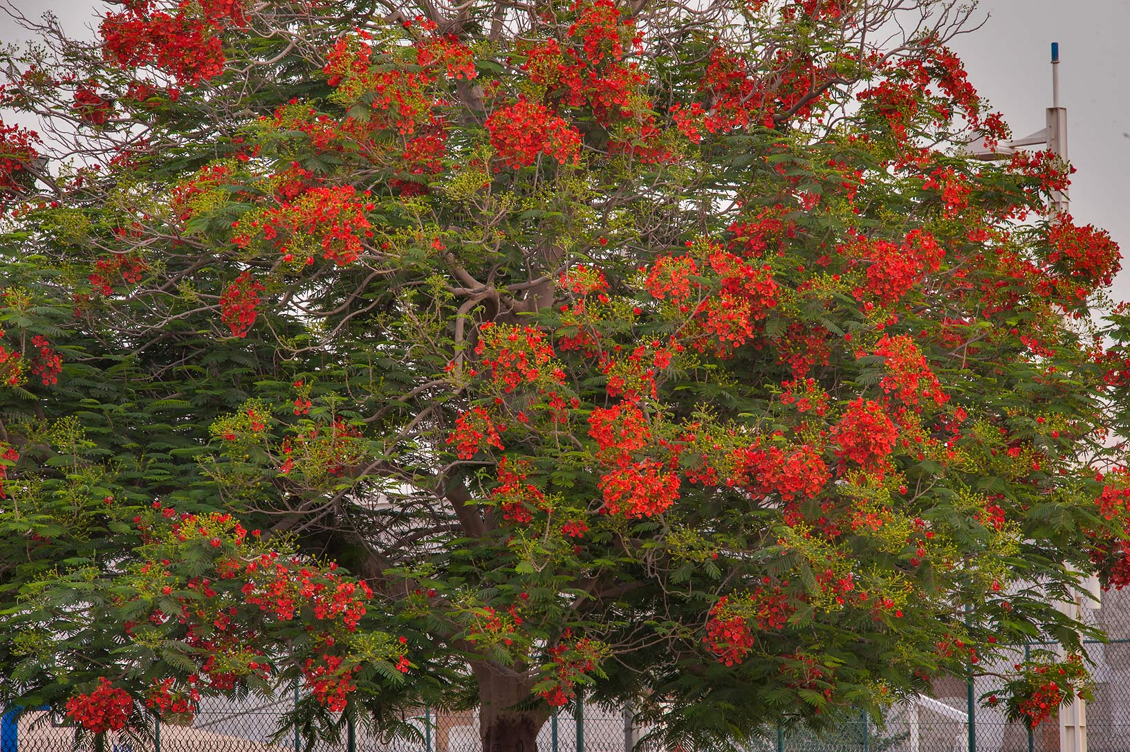 Royal Poinciana tree (Flamboyant, Delonix regia) in Aspire Park. Doha, Qatar