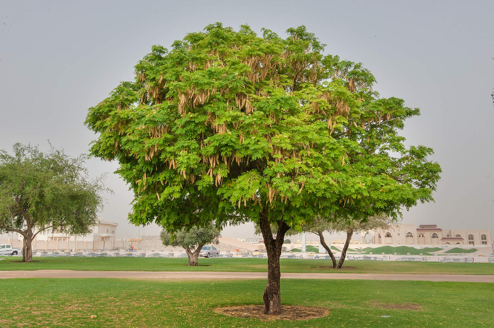 Albizia lebbeck tree with fruits in Aspire Park. Doha, Qatar