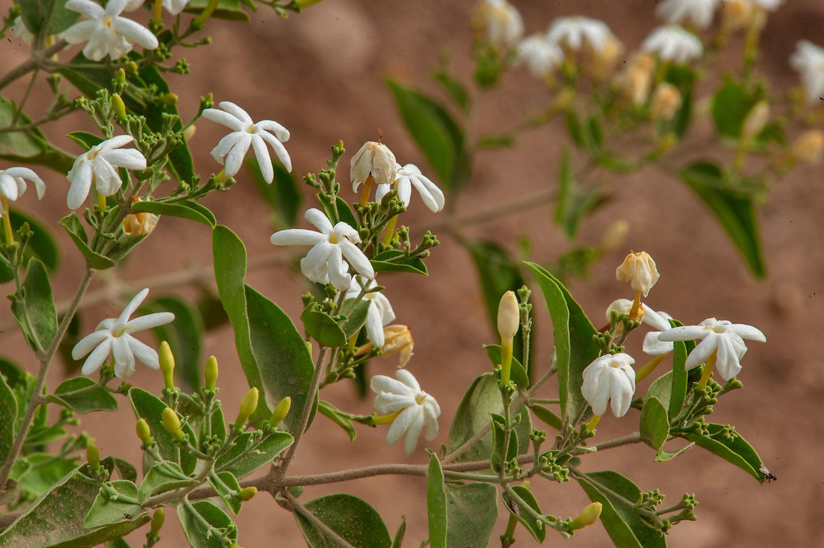 Oleaceae Flora Of Qatar
