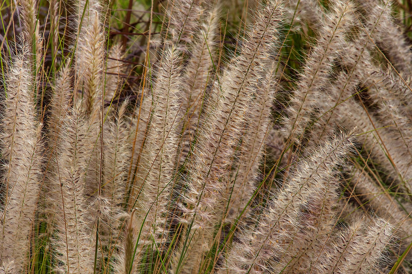 Ornamental plant of fountain grass (Pennisetum...near a corner with Onaiza. Doha, Qatar