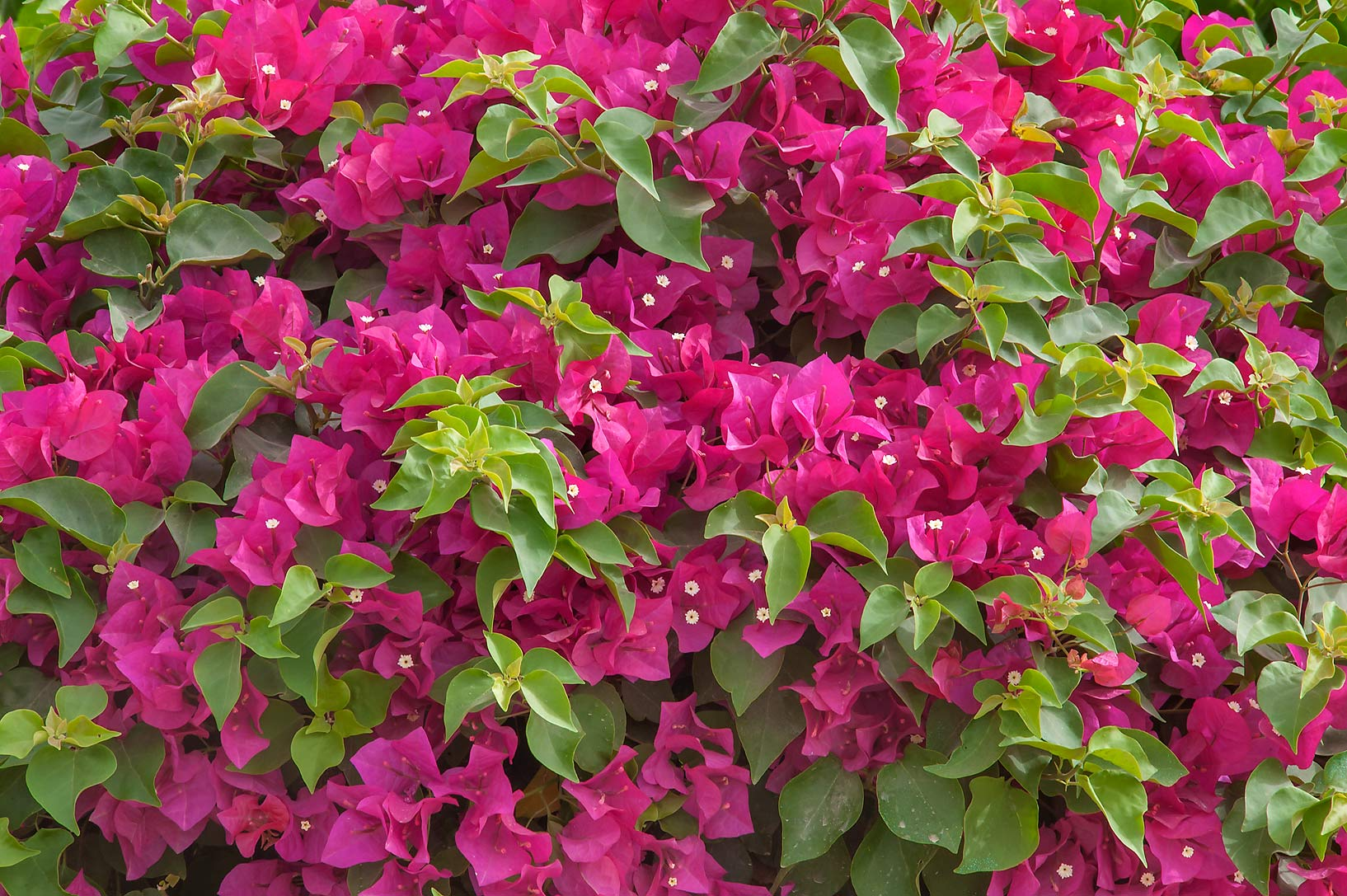 Paperflower (Bougainvillea glabra) in a park at...near a corner with Onaiza. Doha, Qatar