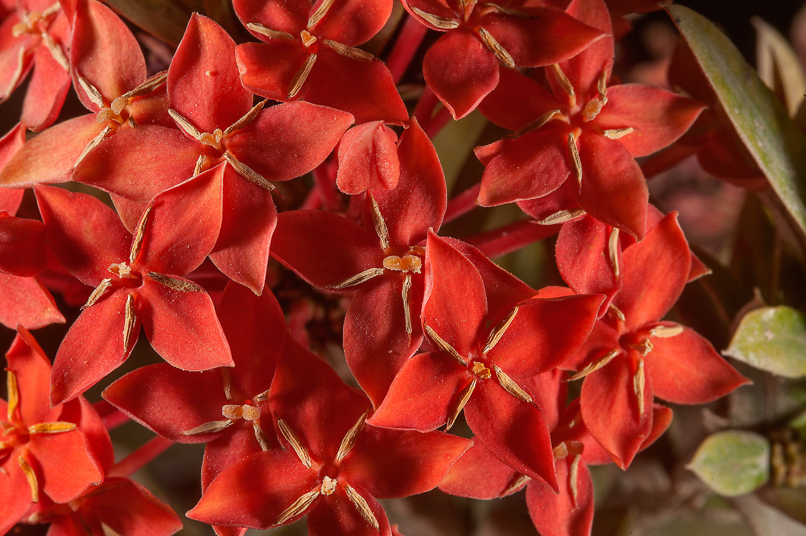Flowers of jungle geranium (Ixora coccinea) in a...near a corner with Onaiza. Doha, Qatar