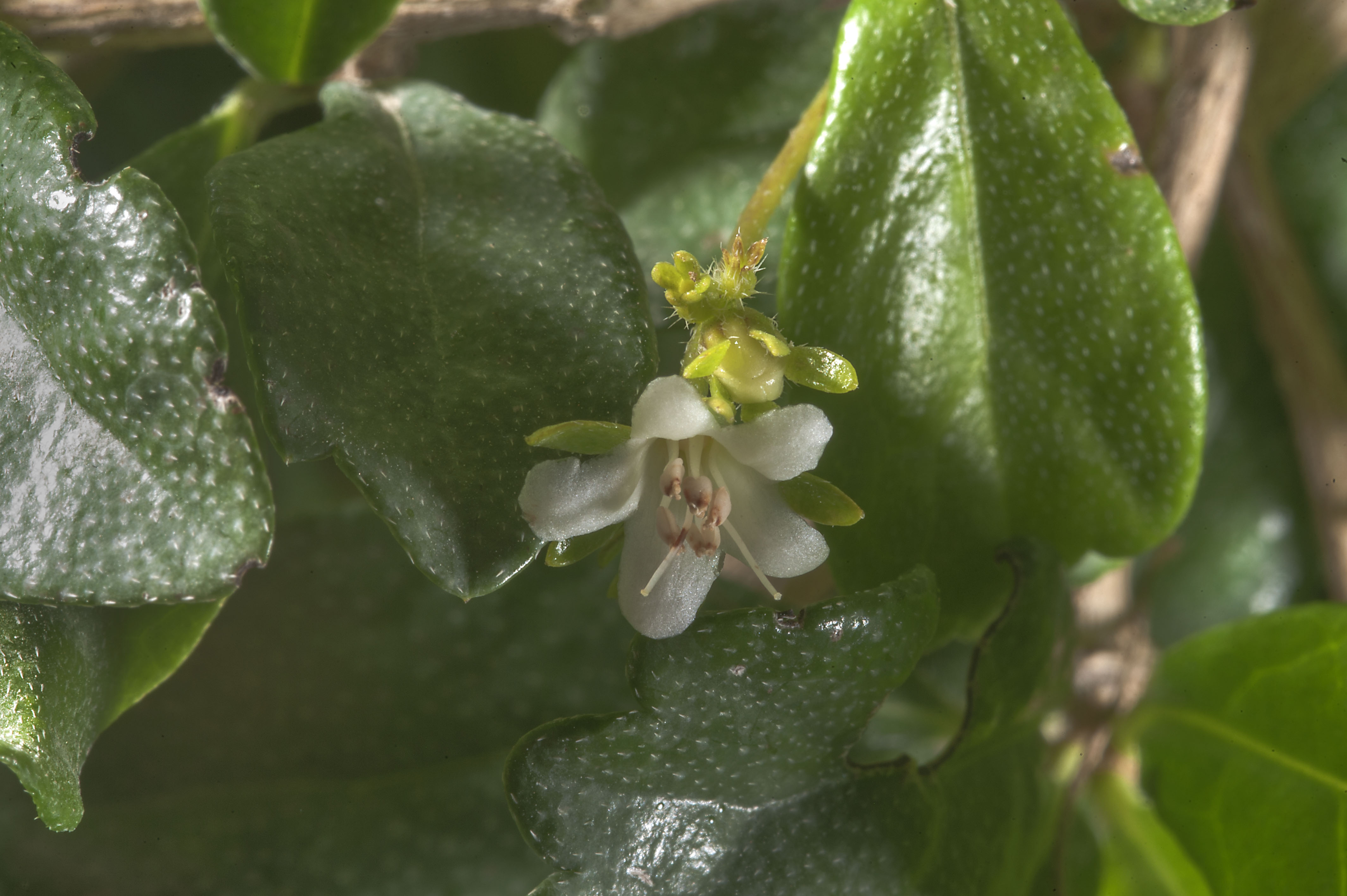 Ien Tea Tree Ehretia Microphylla With A Small White Flower In Park At