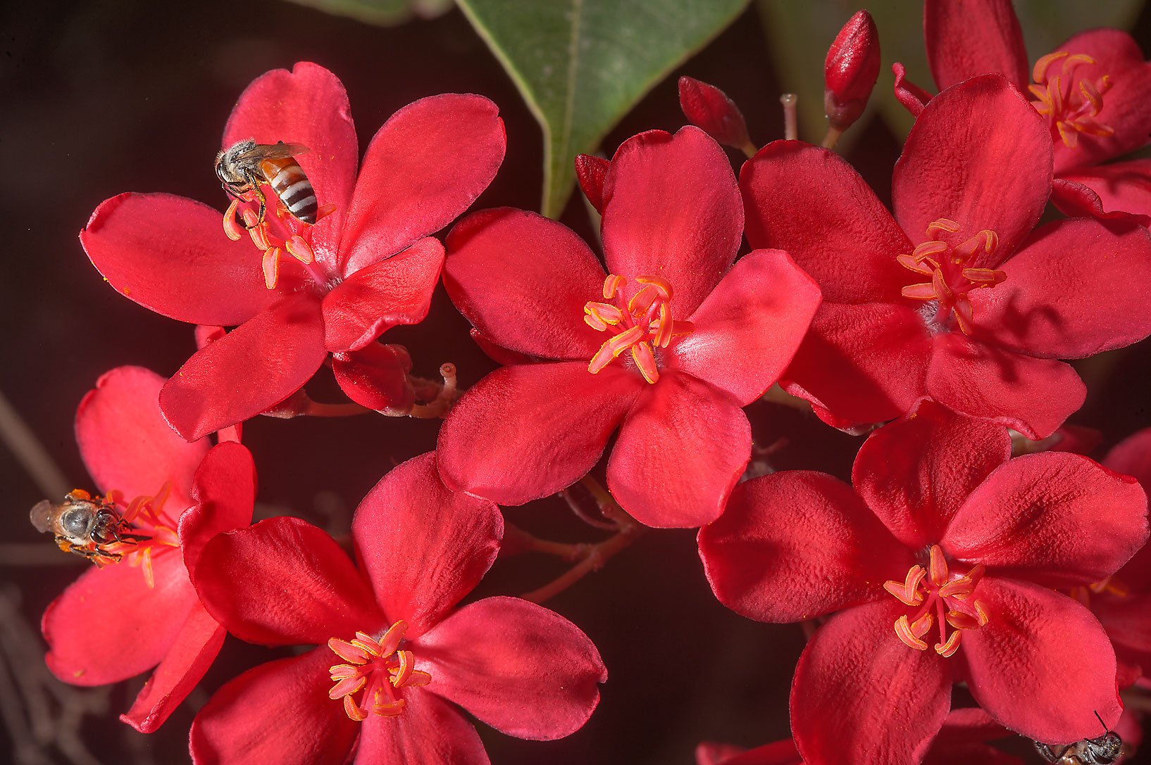 Red flowers of Jatropha integerrima with a bee on...St. in Onaiza area. Doha, Qatar