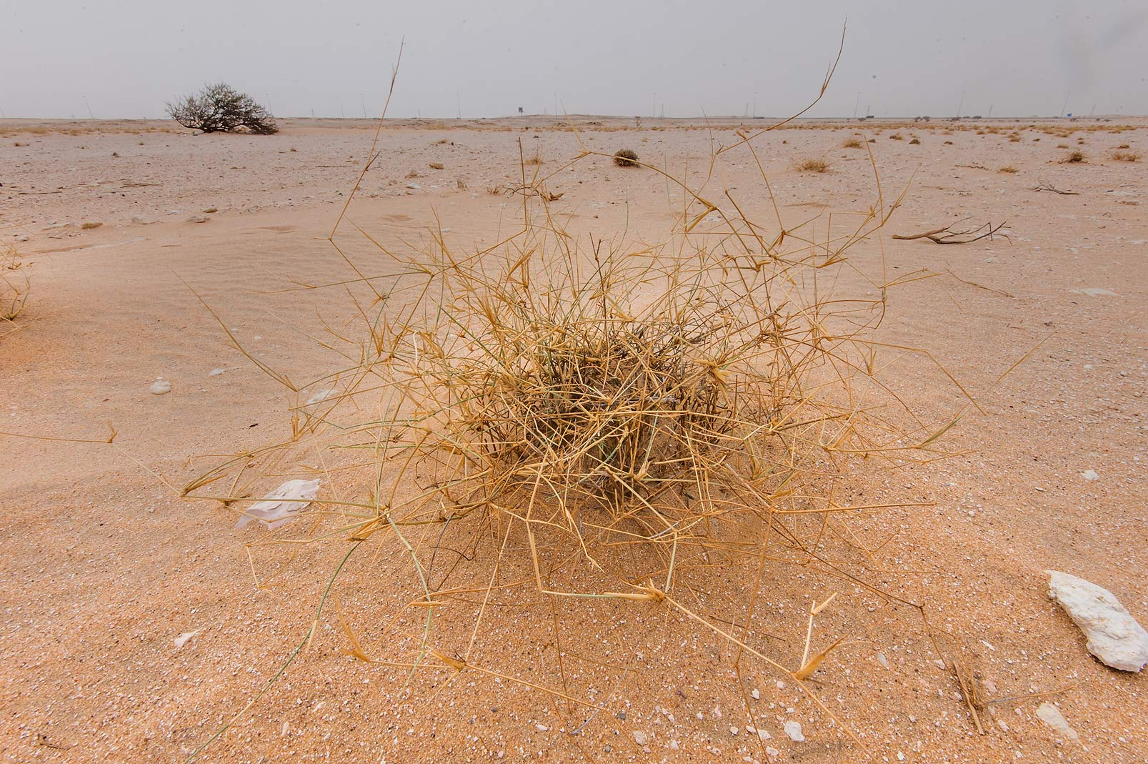 Desert grass Panicum turgidum in area of Nakhsh Mountain near Salwa Rd. in southern Qatar
