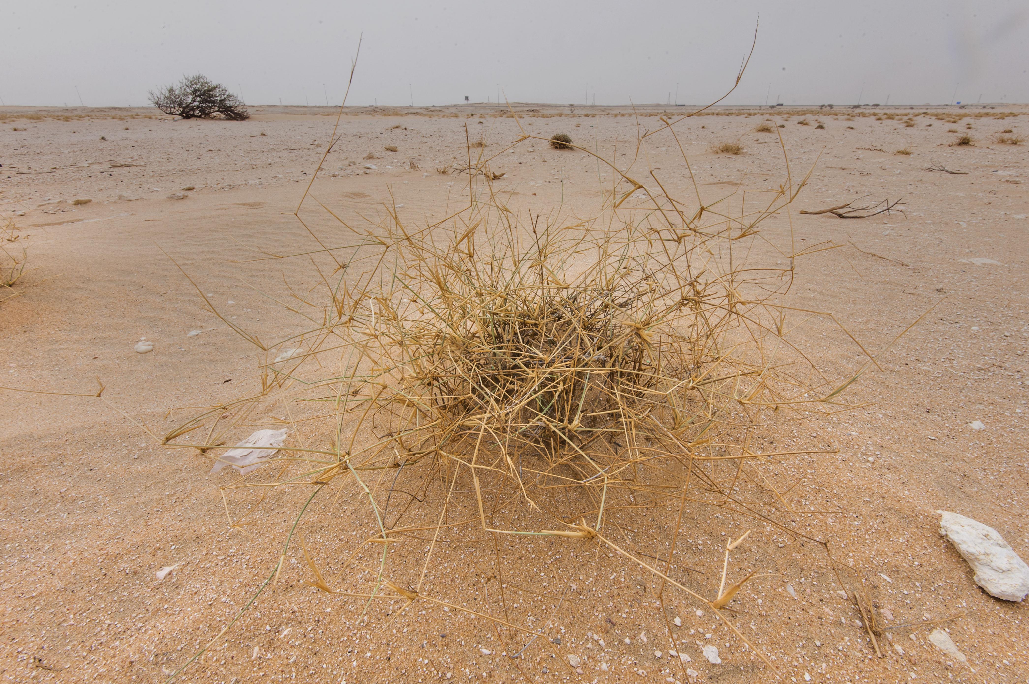 photo 1591 29 desert grass panicum turgidum in area of. Black Bedroom Furniture Sets. Home Design Ideas