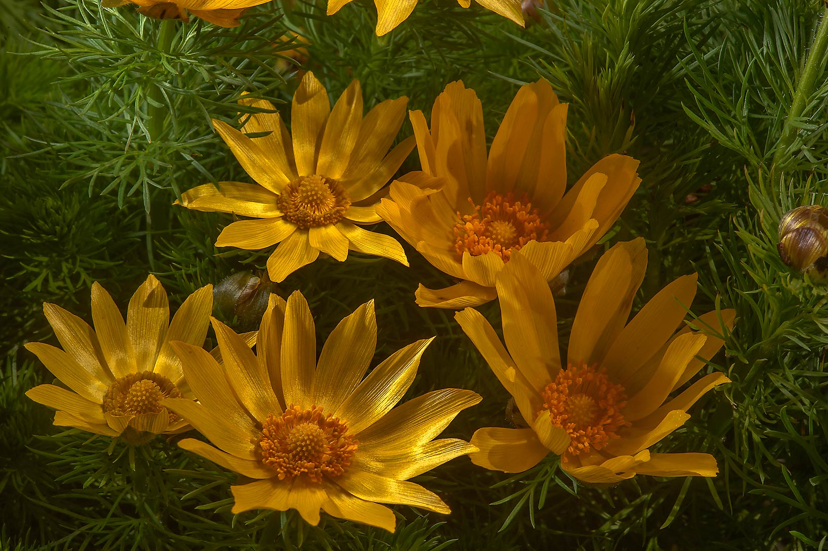 Yellow flowers of Pheasant's eye (Adonis vernalis...Institute. St.Petersburg, Russia