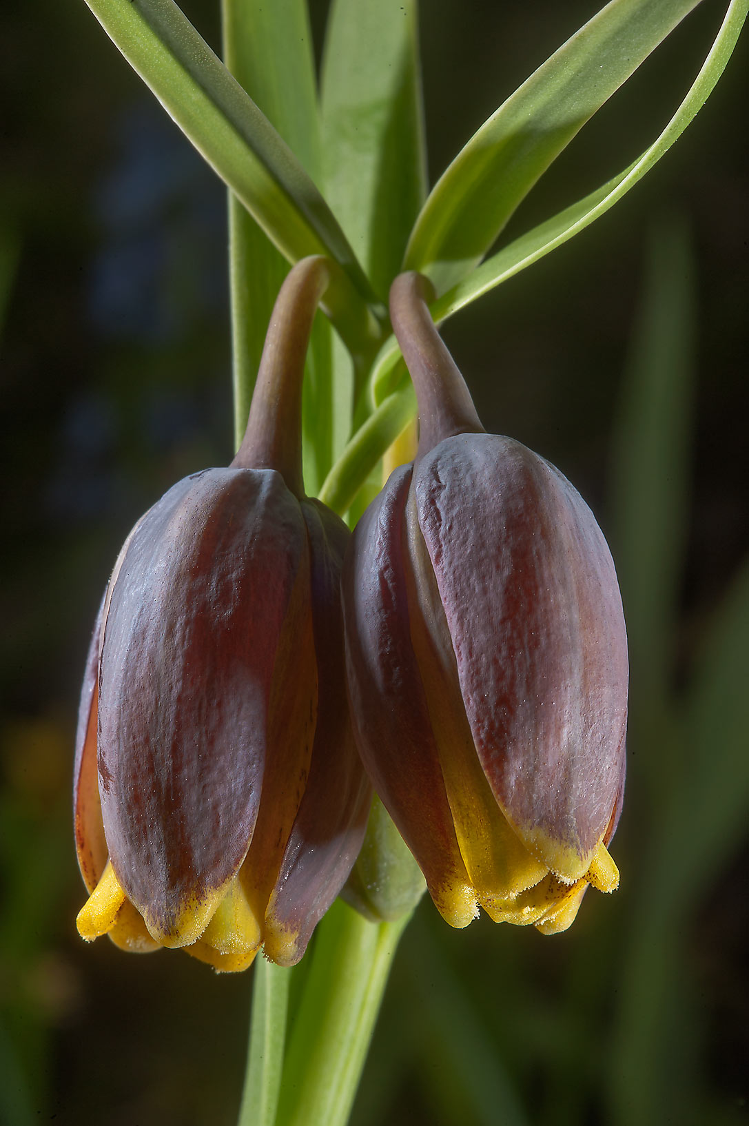 Fritillaria pyrenaica in Botanic Gardens of...Institute. St.Petersburg, Russia