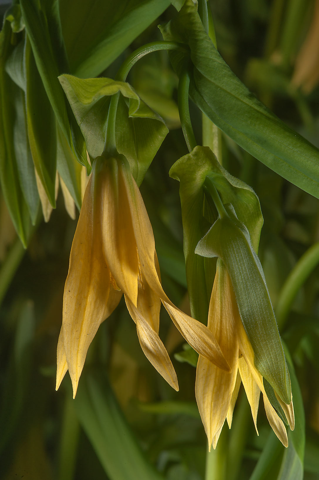 Blooming Largeflower bellwort (Uvularia...Institute. St.Petersburg, Russia