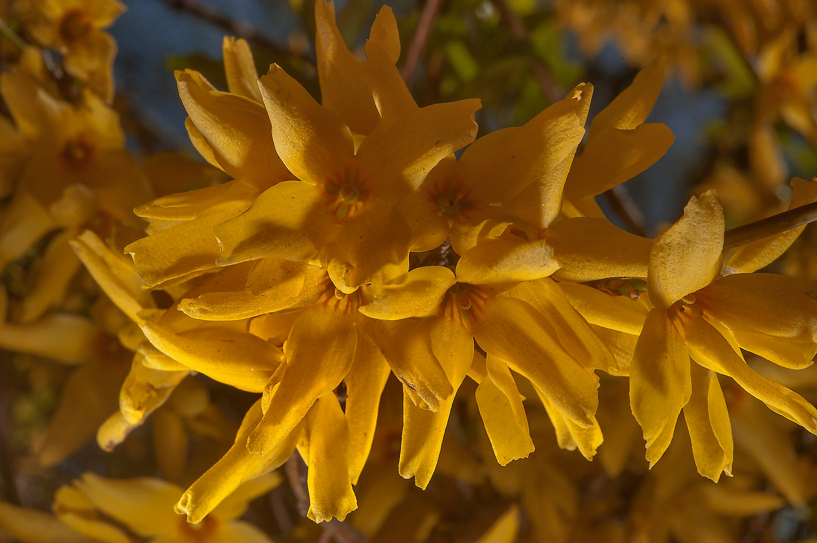 Yellow flowers on a bush of forsythia in Botanic...Institute. St.Petersburg, Russia