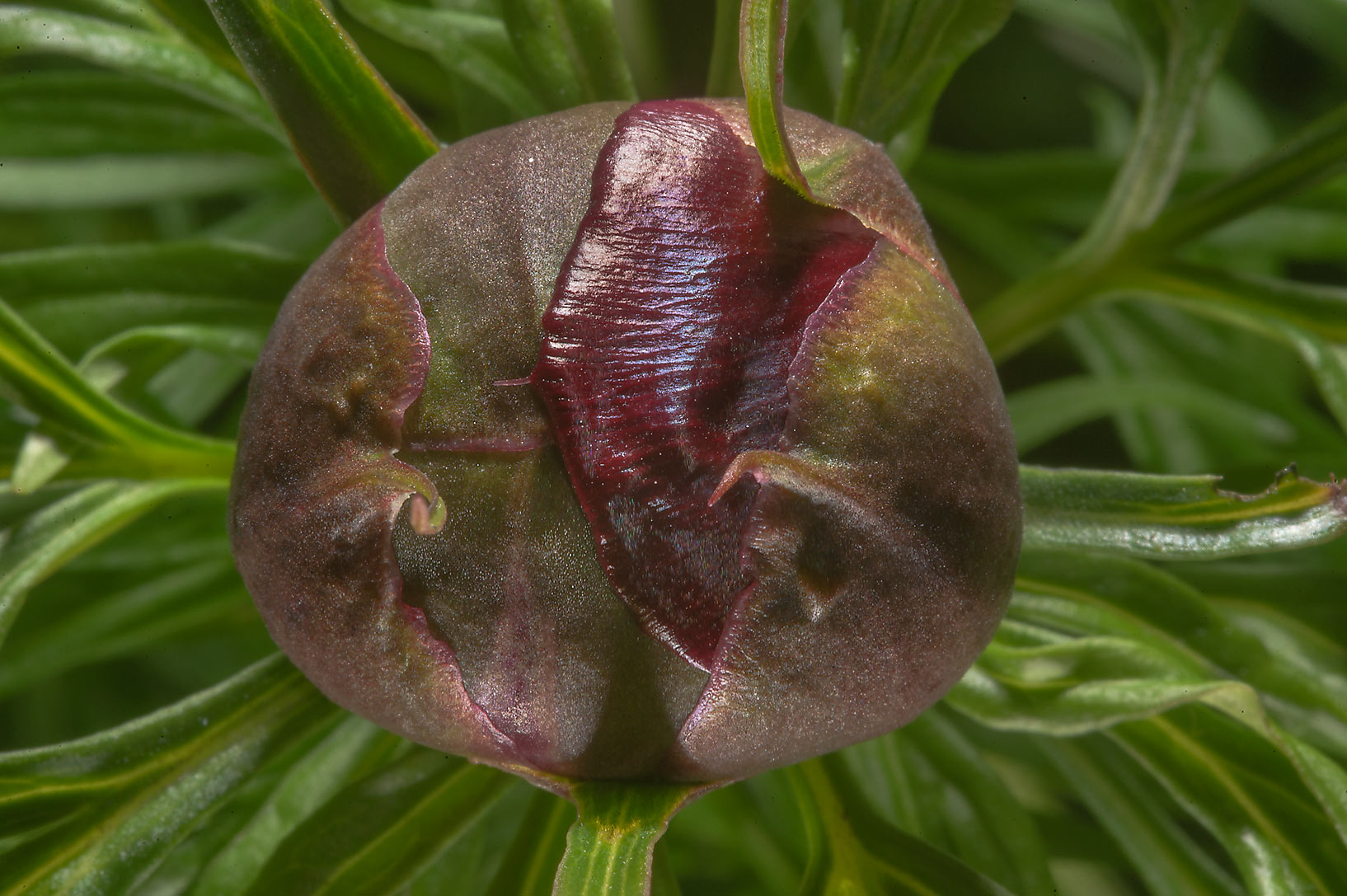 Flower bud of peony (Paeonia) in Botanic Gardens...Institute. St.Petersburg, Russia