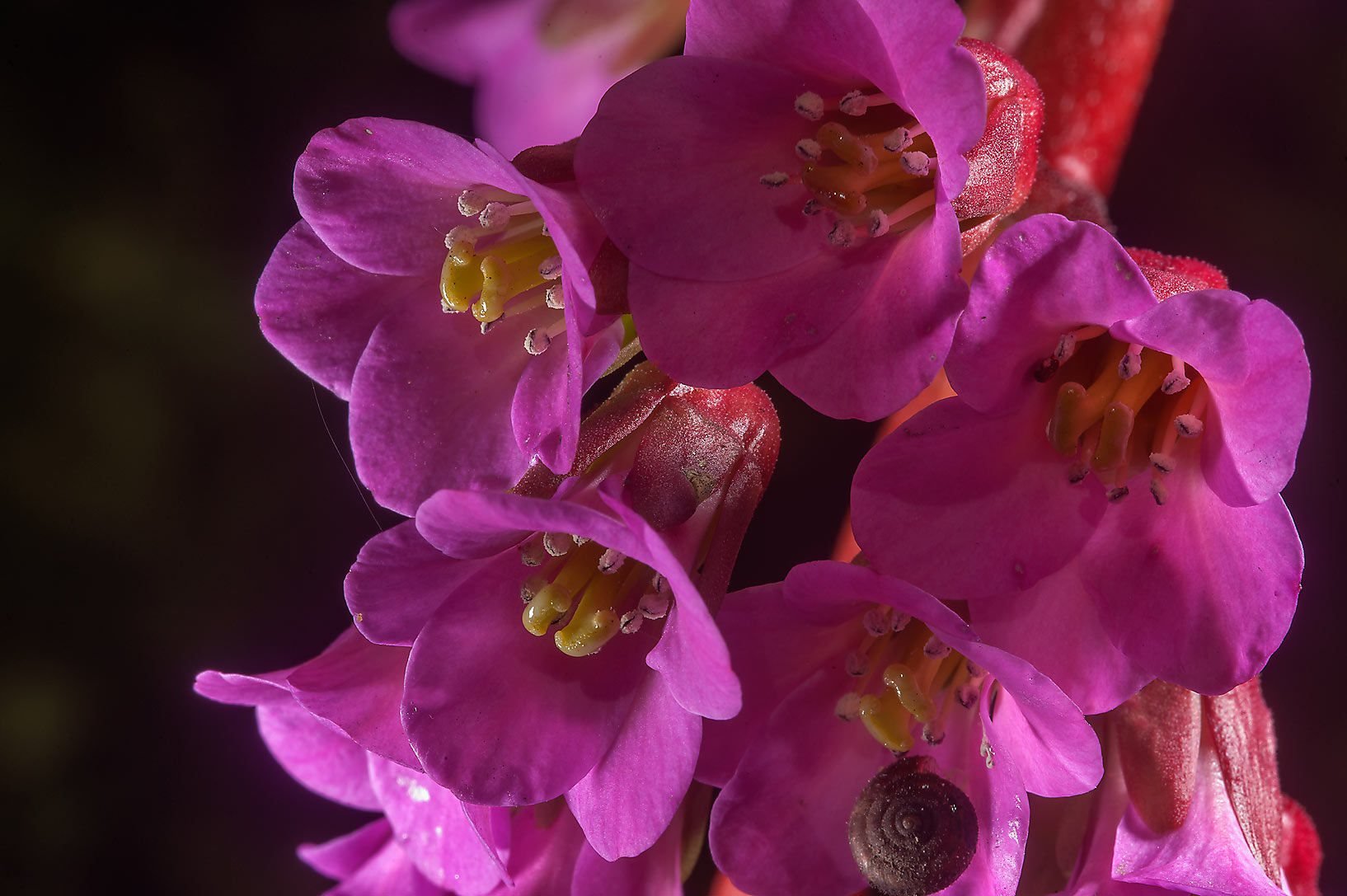 Pink flowers of Siberian Tea (Bergenia...Institute. St.Petersburg, Russia