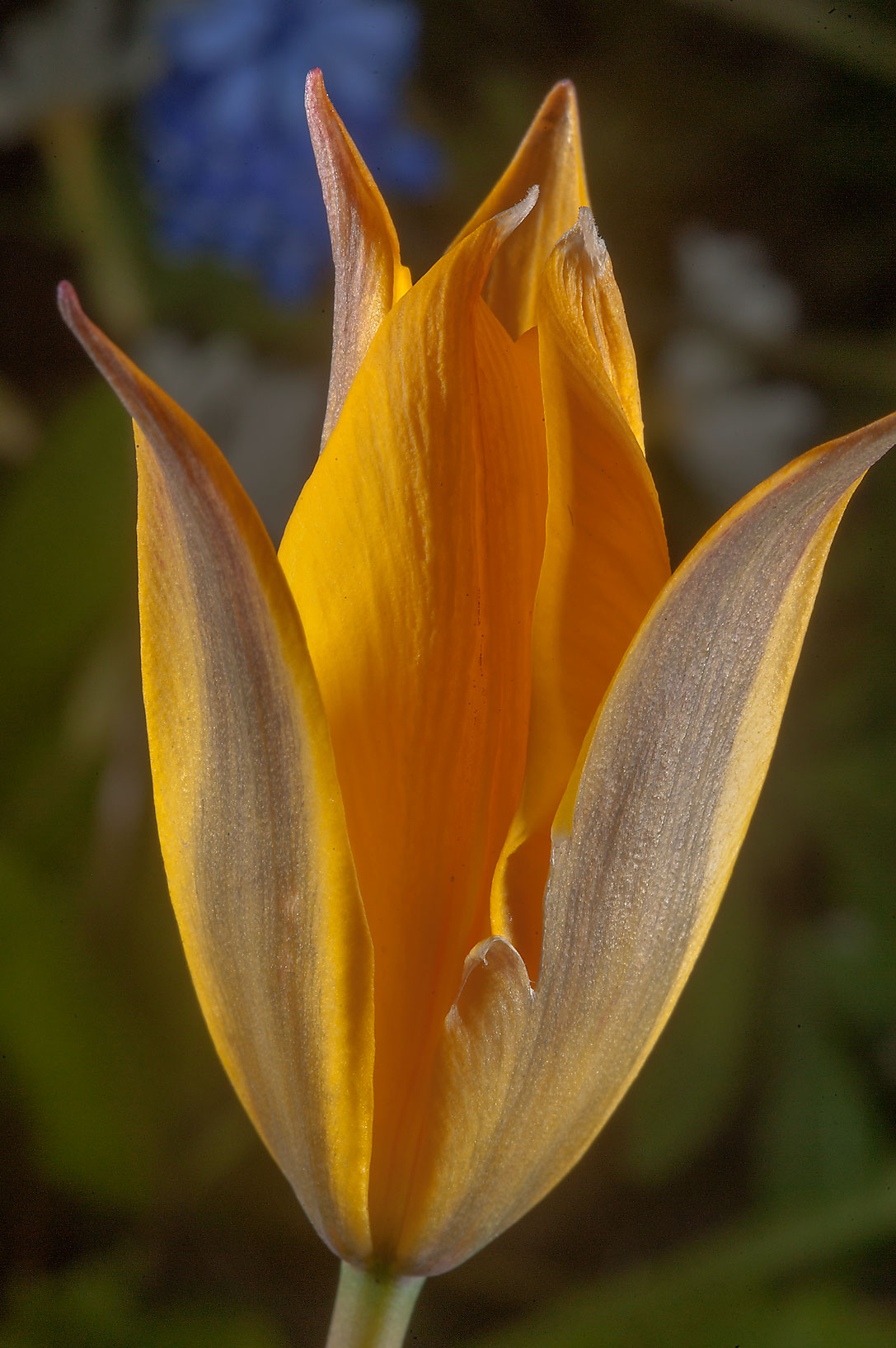 Yellow flower of Tulipa iliensis in Botanic...Institute. St.Petersburg, Russia