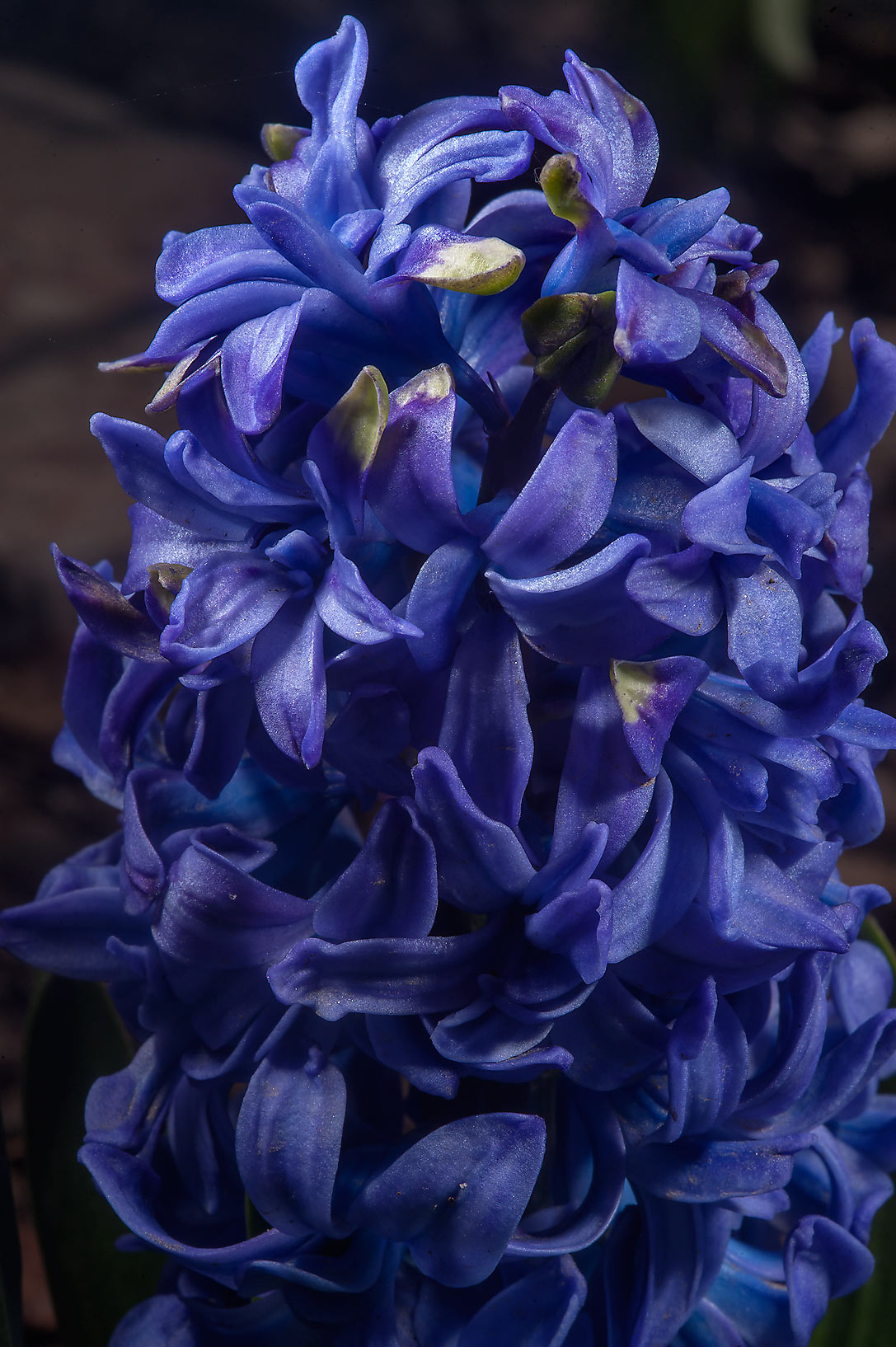 Blue hyacinth (Hyacinthus orientalis 'Isabel') in...Institute. St.Petersburg, Russia