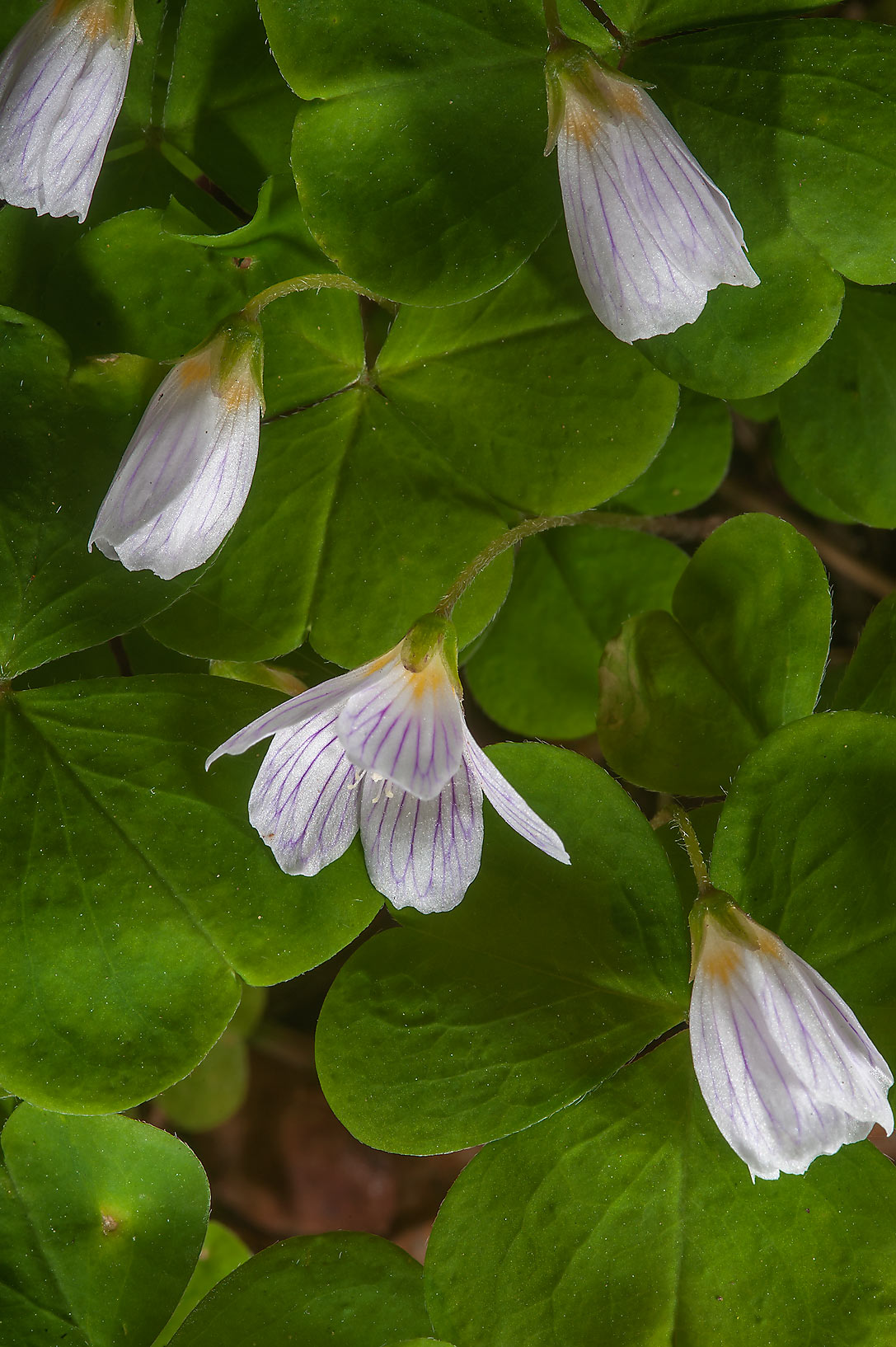 Wood sorrel (Oxalis acetosella, Russian name...suburb of St.Petersburg, Russia