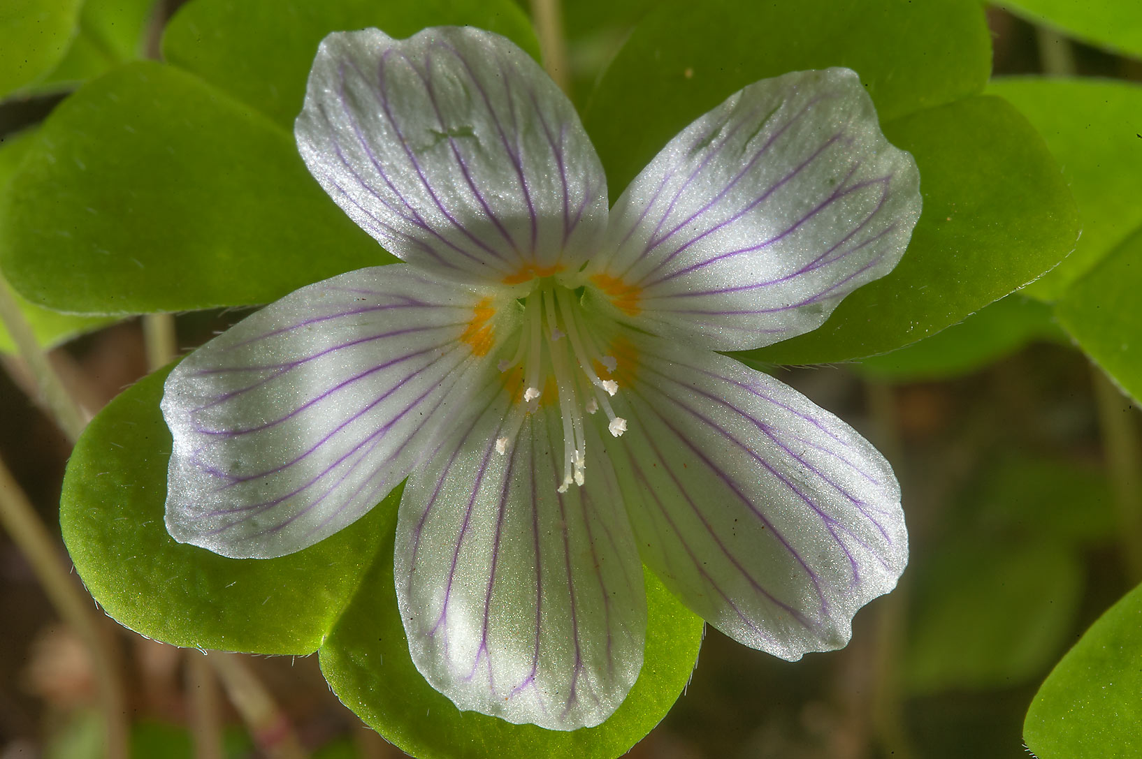 Flower of wood sorrel (Oxalis acetosella, Russian...suburb of St.Petersburg, Russia