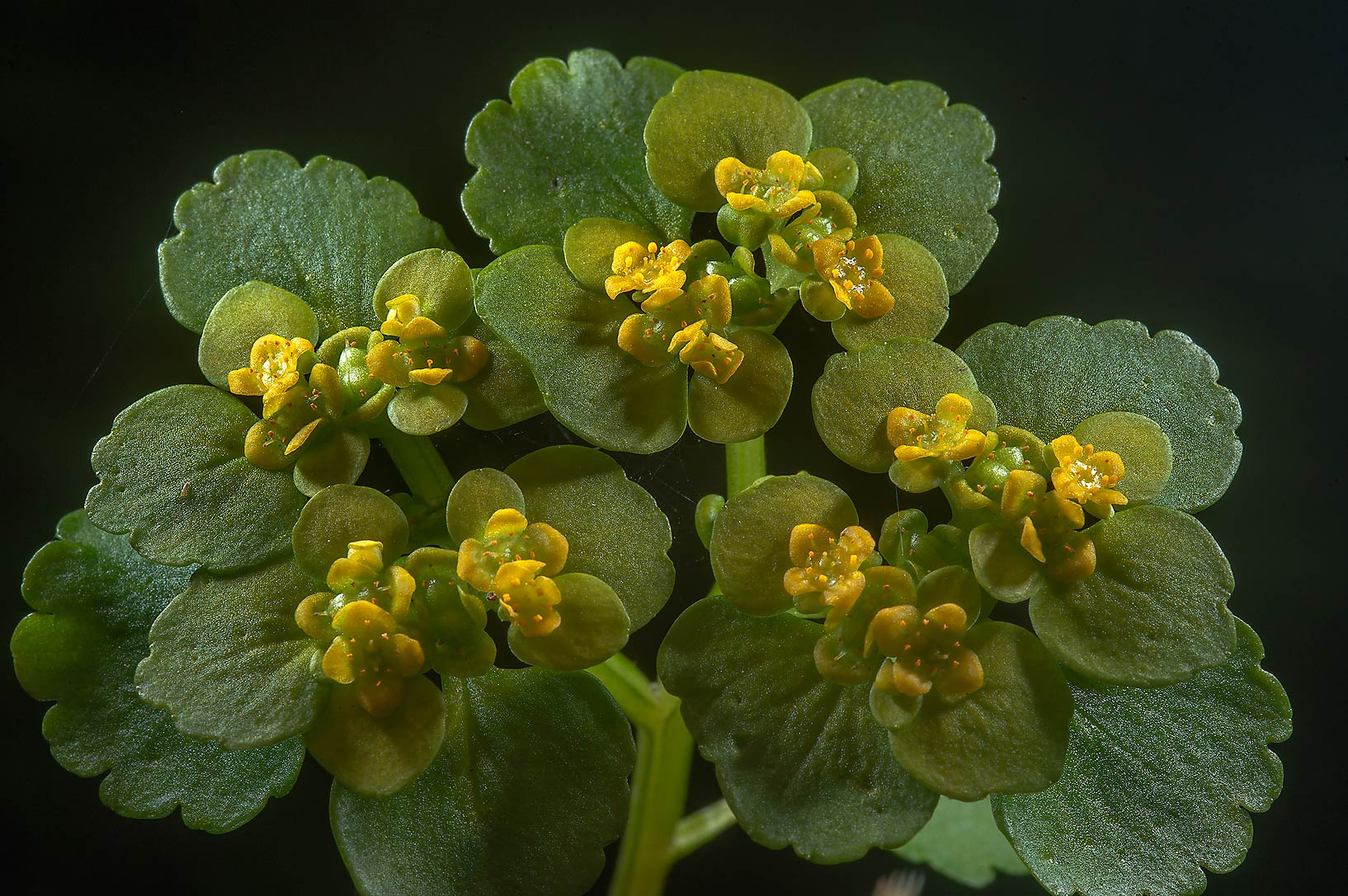 Alternate-leaved Golden Saxifrage (Chrysosplenium...suburb of St.Petersburg, Russia