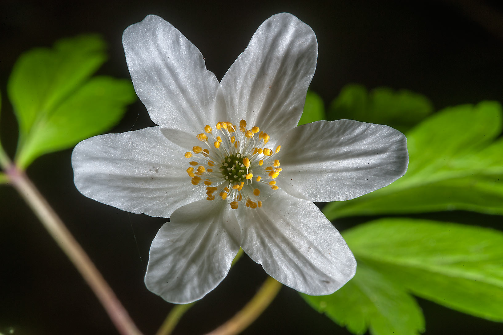 White anemone (Anemone nemorosa, Russian name...suburb of St.Petersburg, Russia