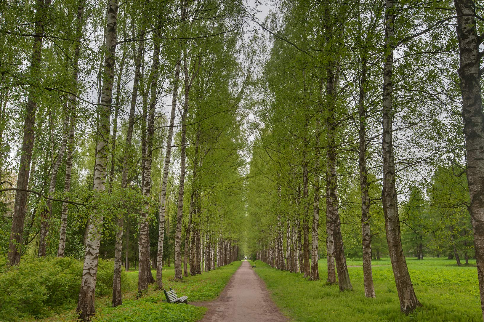 Birch alley near Sadovaya St. in Pavlovsk Park. Pavlovsk, suburb of St.Petersburg, Russia