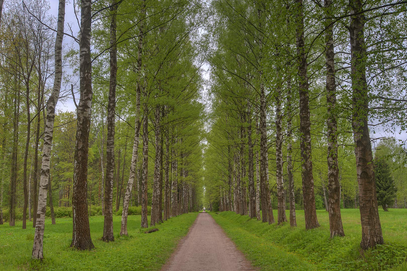 Birch alley at spring near Sadovaya St. in...suburb of St.Petersburg, Russia