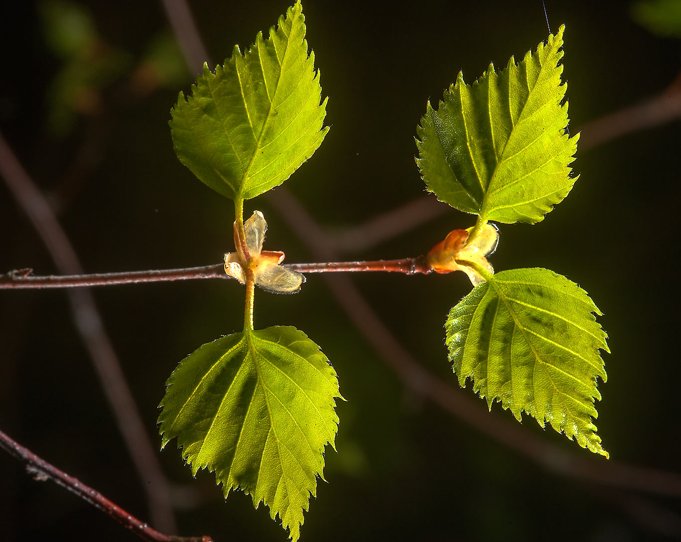 Young leaves of birch near Kavgolovskoe Lake in Toksovo, a suburb of St.Petersburg, Russia