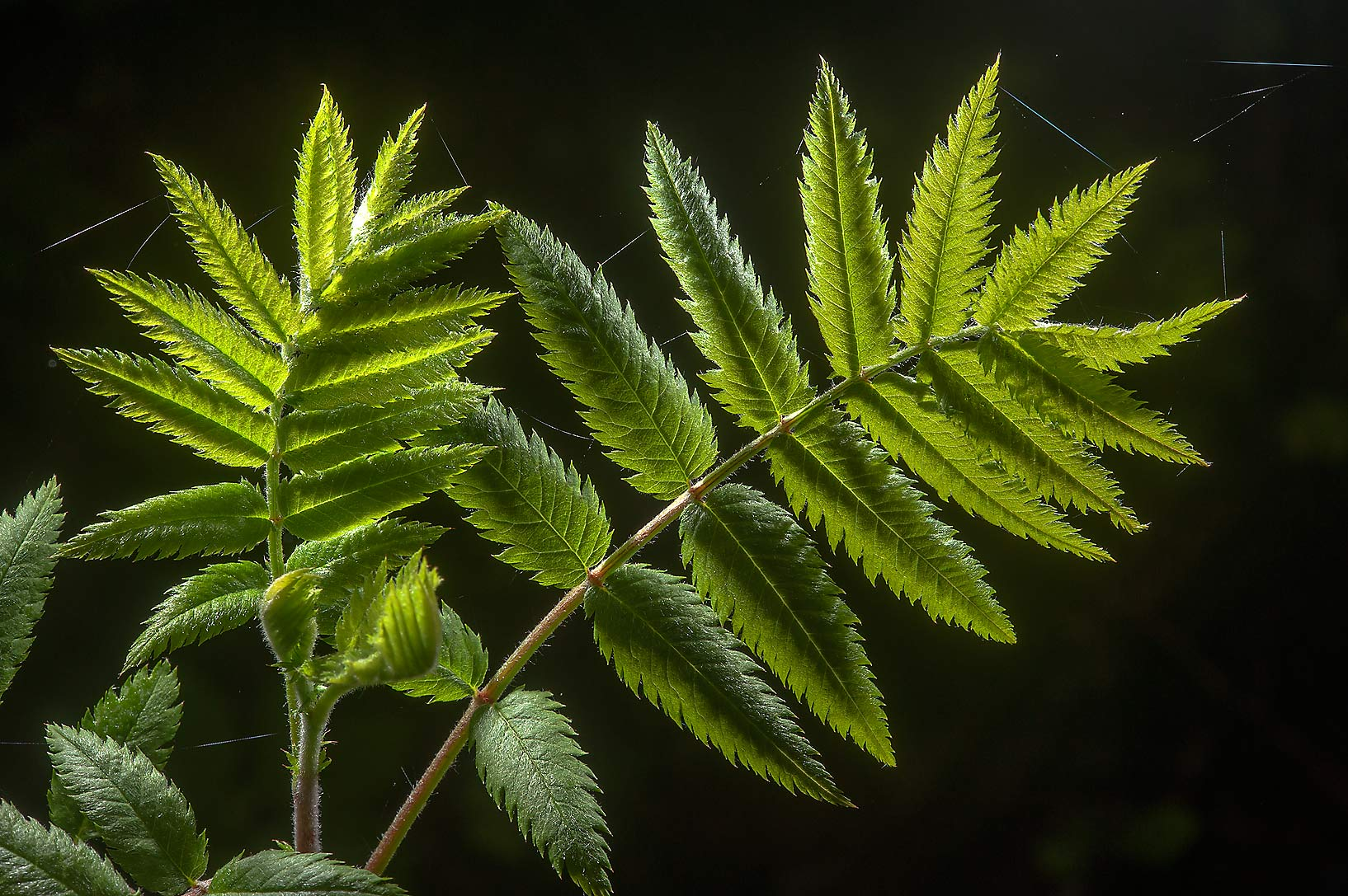 Back lit leaves of mountain ash (Sorbus aucuparia...a suburb of St.Petersburg, Russia