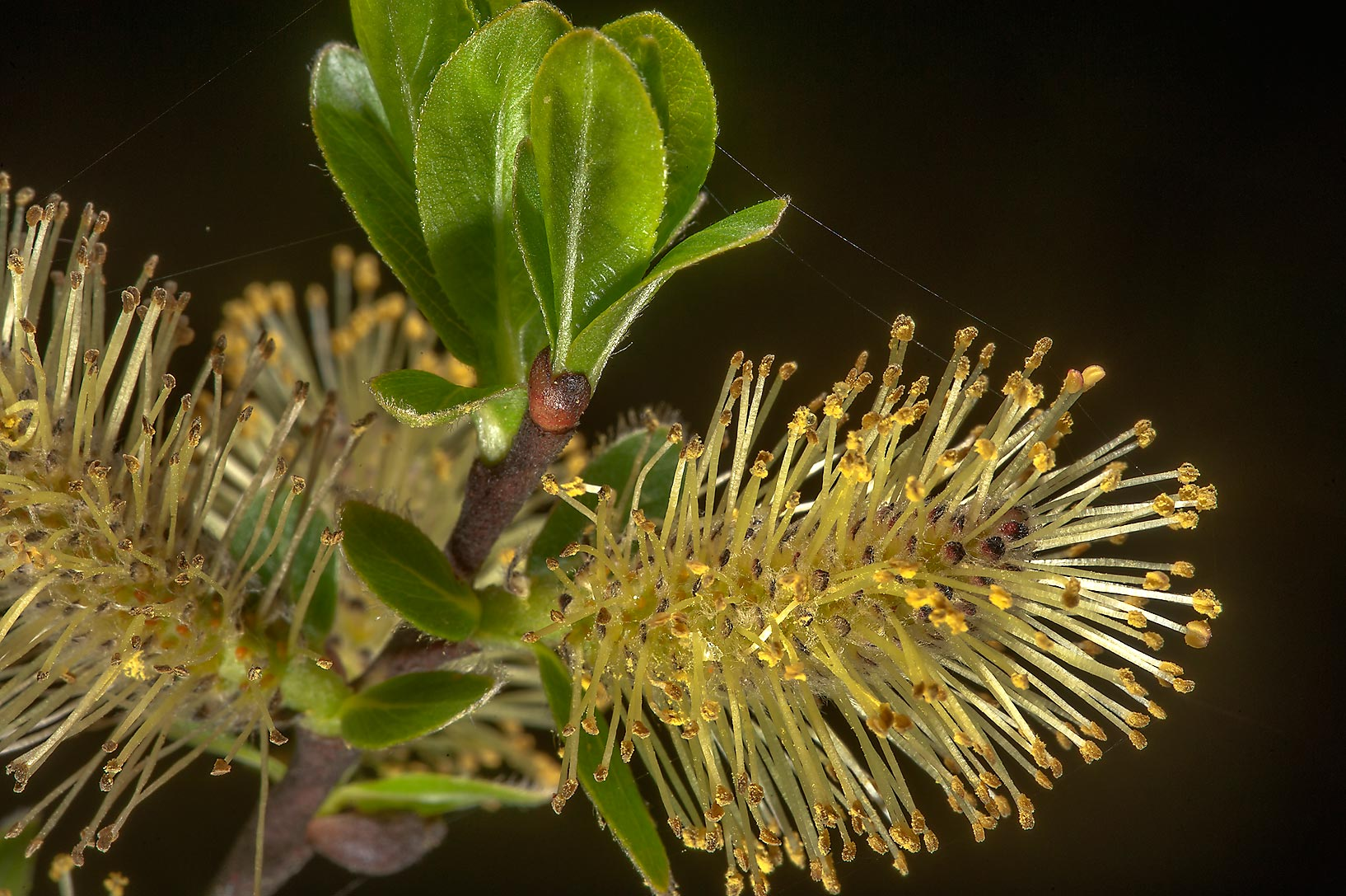 Young leaves and male catkins on a willow (Salix...a suburb of St.Petersburg, Russia