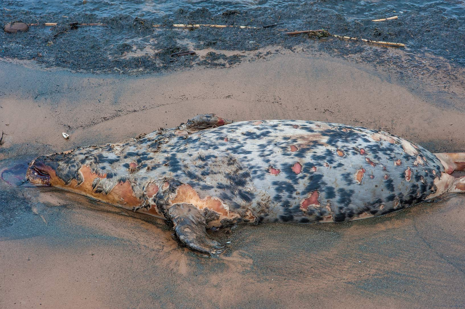 Grey seal washed up on a beach near Sestroretsk, a suburb of St.Petersburg, Russia