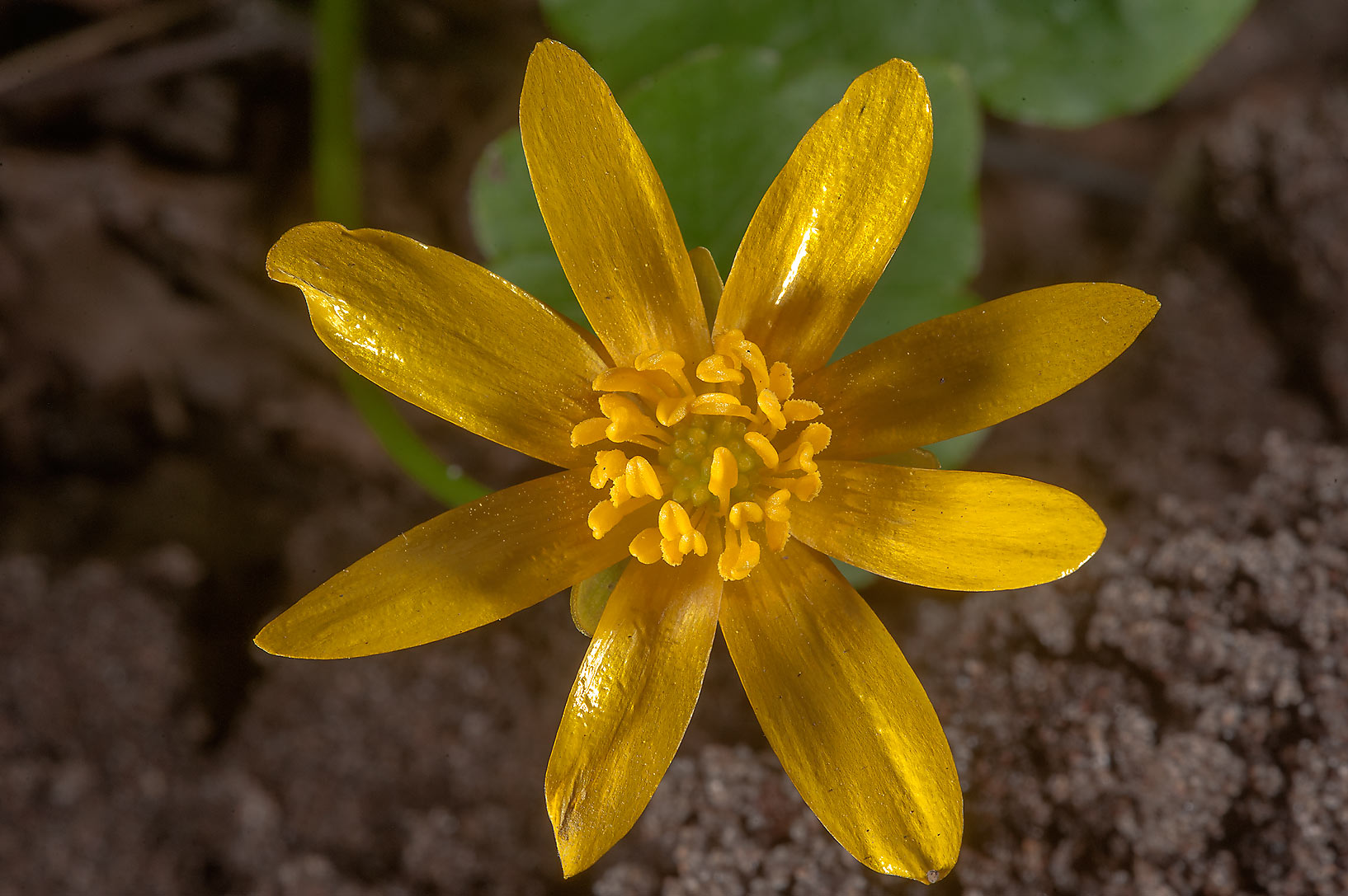 Flower of lesser celandine (Ficaria verna...a suburb of St.Petersburg, Russia