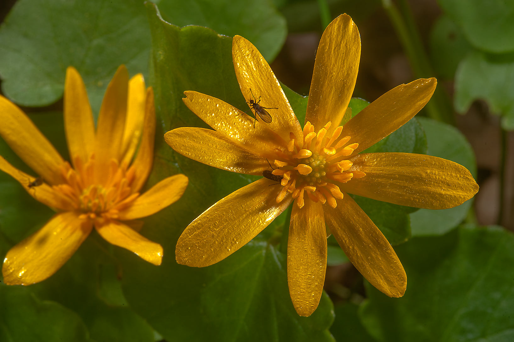 Two flowers of lesser celandine (Ficaria verna...a suburb of St.Petersburg, Russia