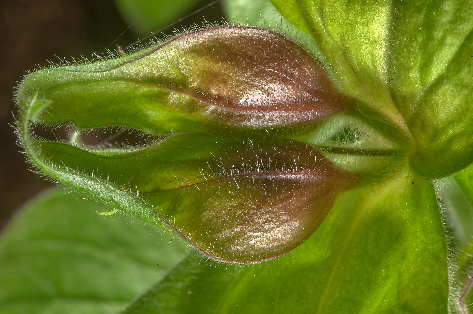 Flower buds of lungwort (Pulmonaria) in Dubki...a suburb of St.Petersburg, Russia