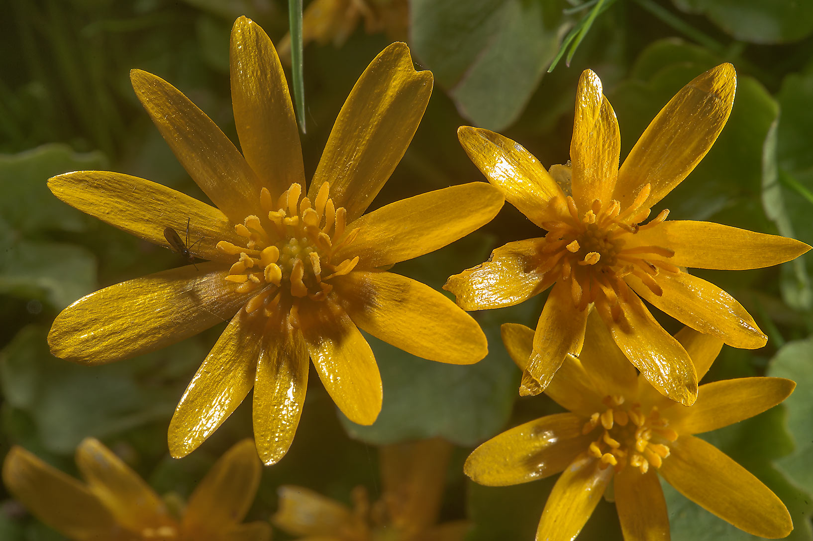 Blooming lesser celandine (Ficaria verna, Russian...a suburb of St.Petersburg, Russia