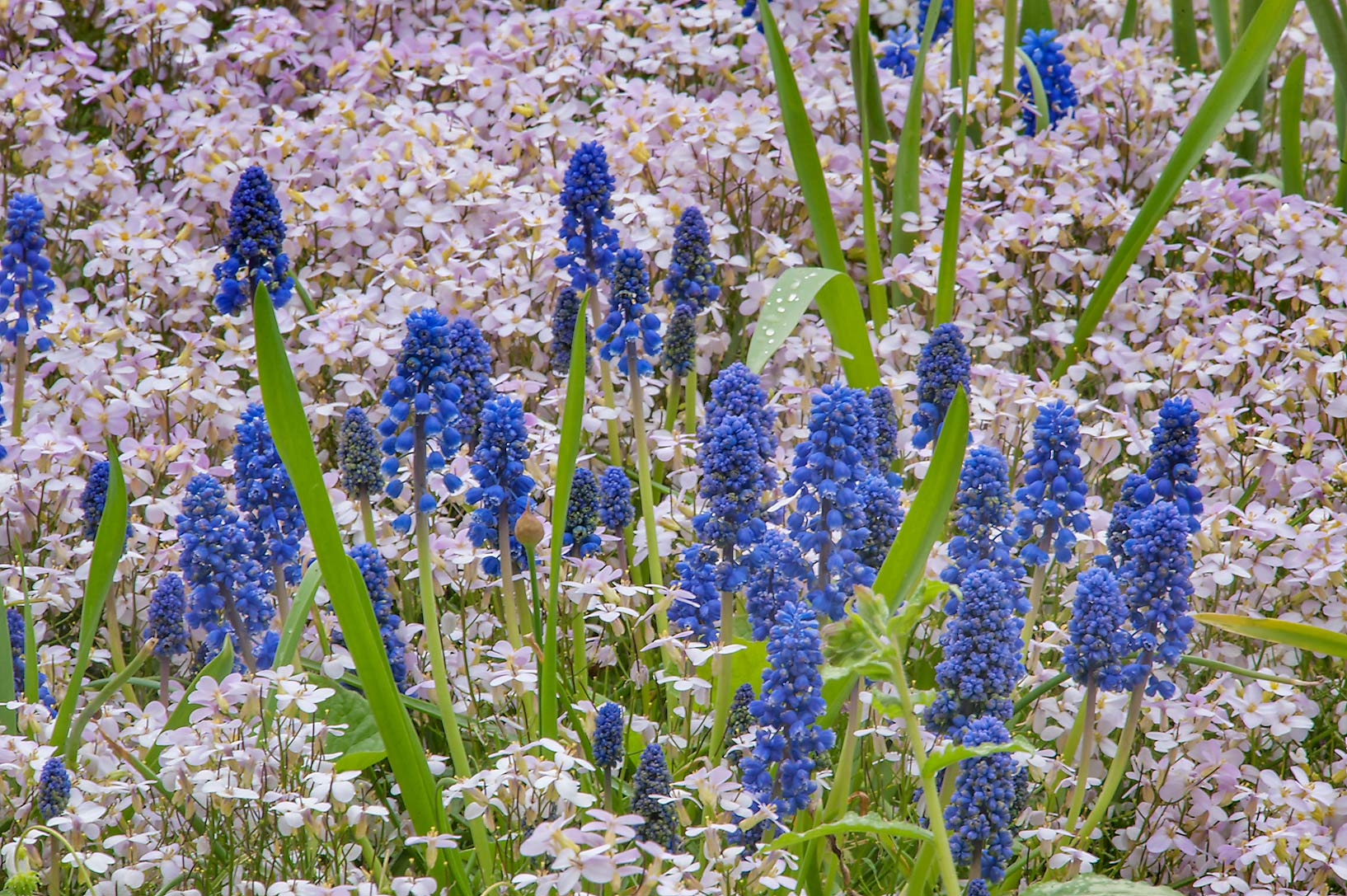 Grape hyacinth (Muscari) in Botanic Gardens of...Institute. St.Petersburg, Russia