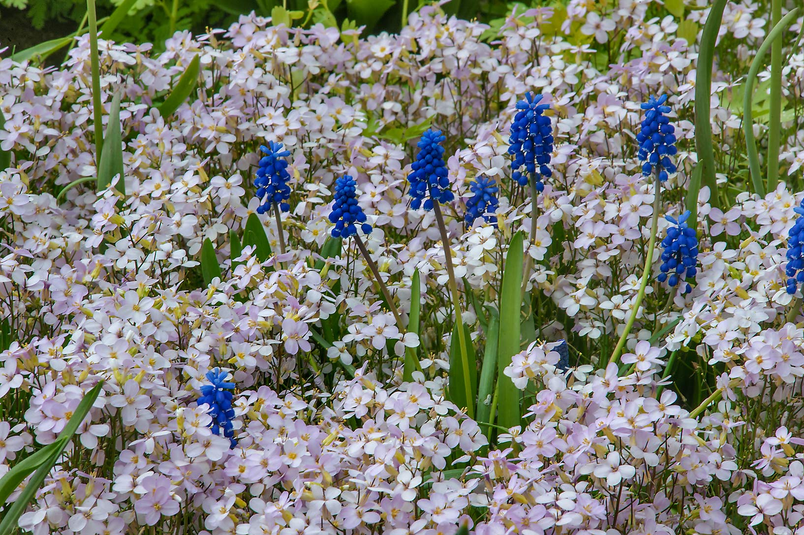 Blue and white flowers in Botanic Gardens of...Institute. St.Petersburg, Russia