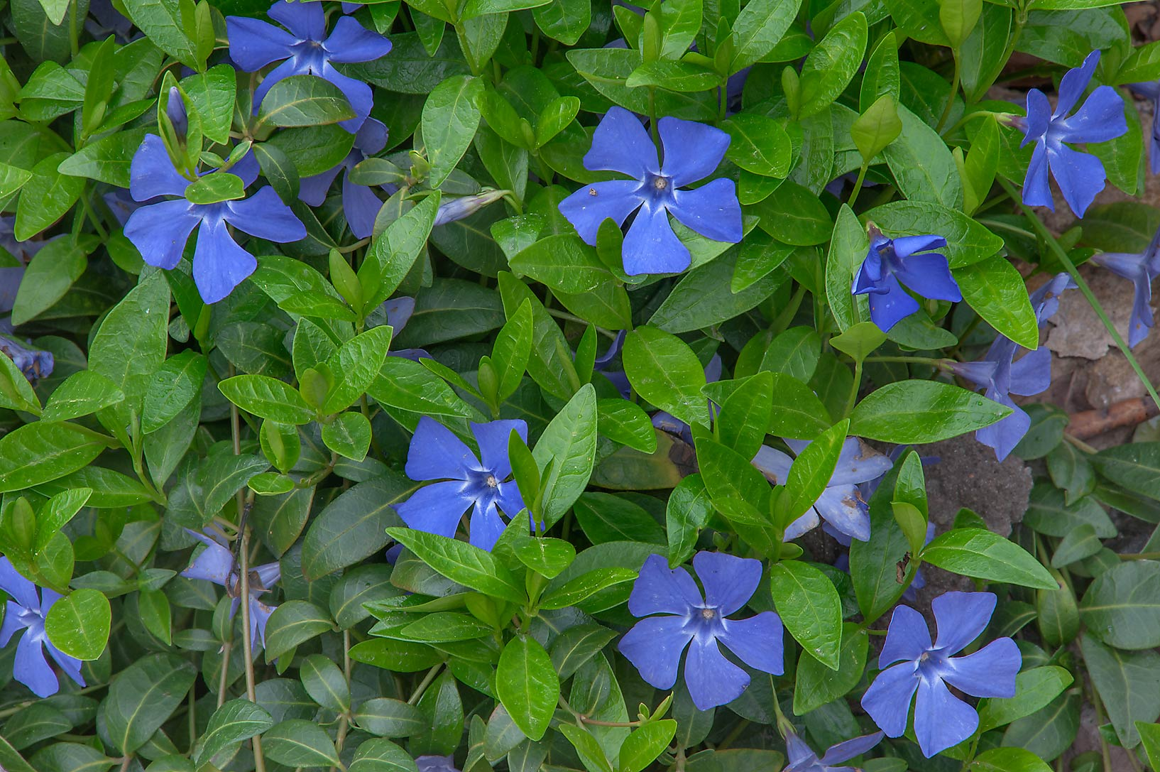 Periwinkle in Botanic Gardens of Komarov Botanical Institute. St.Petersburg, Russia