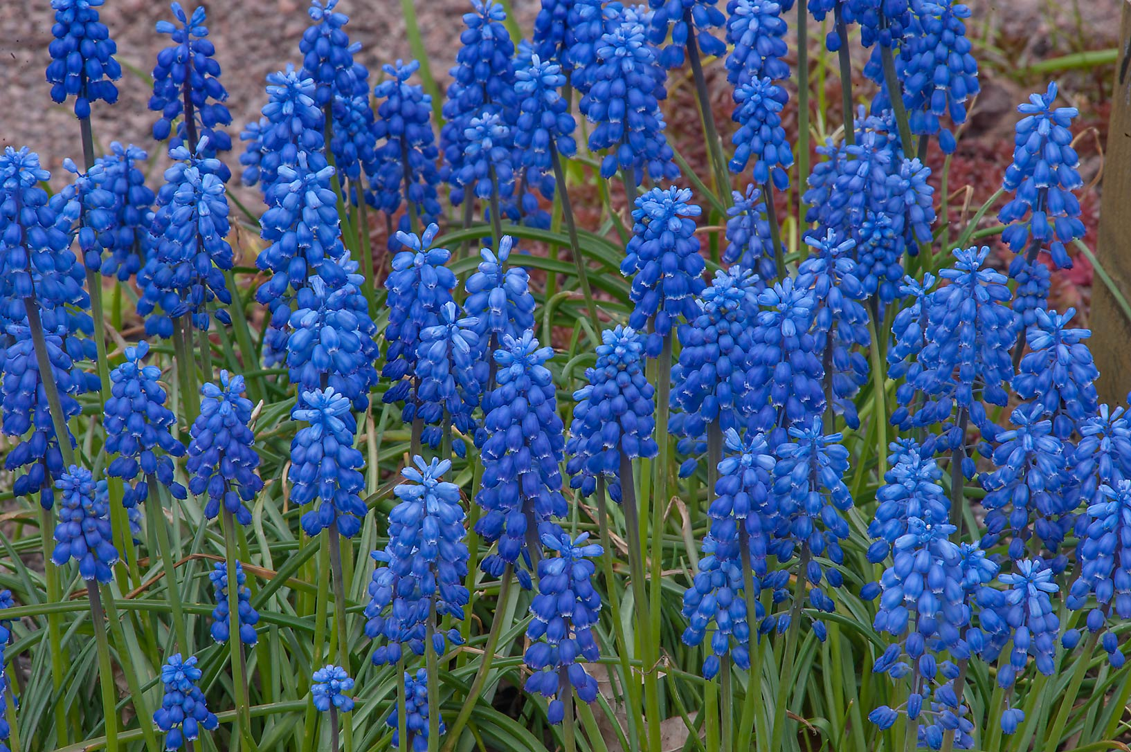 Dense stand of grape hyacinth (Muscari) in...Institute. St.Petersburg, Russia