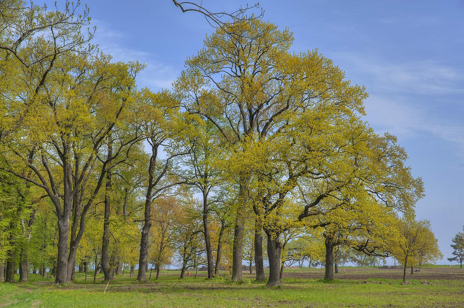 Group of oaks near the gulf in Alexandria Park in...west from St.Petersburg. Russia