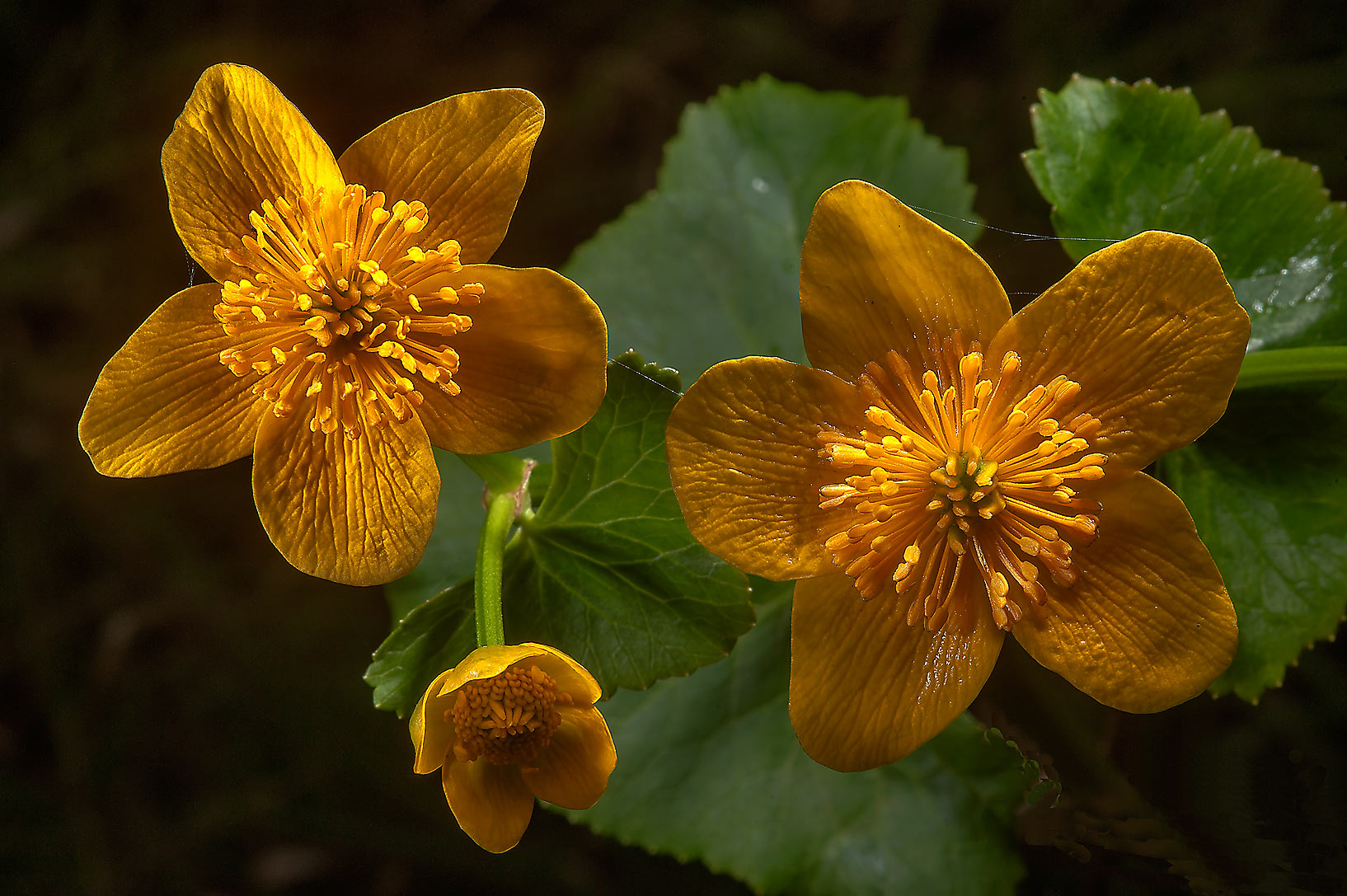 Marsh marigold (kingcup, Caltha palustris...west from St.Petersburg. Russia