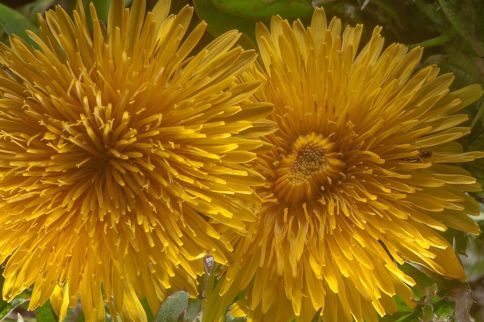 Common dandelion (Taraxacum officinale, Russian...west from St.Petersburg. Russia