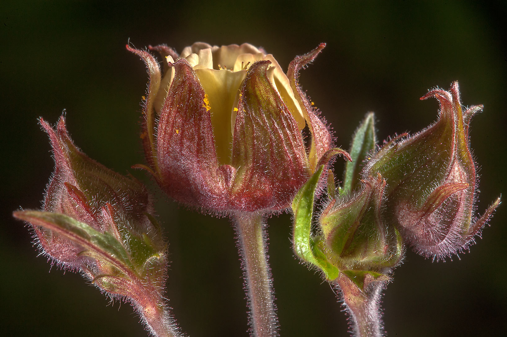 Water avens (Geum rivale, Russian name Gravilat...west from St.Petersburg. Russia
