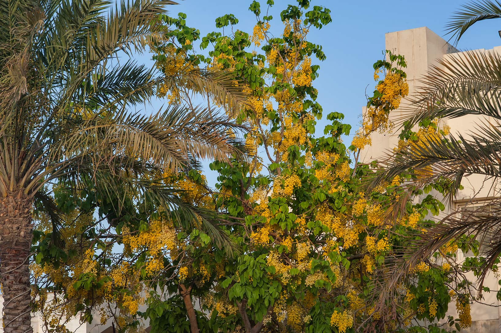 Golden shower tree (Cassia fistula) in Onaiza area. Doha, Qatar