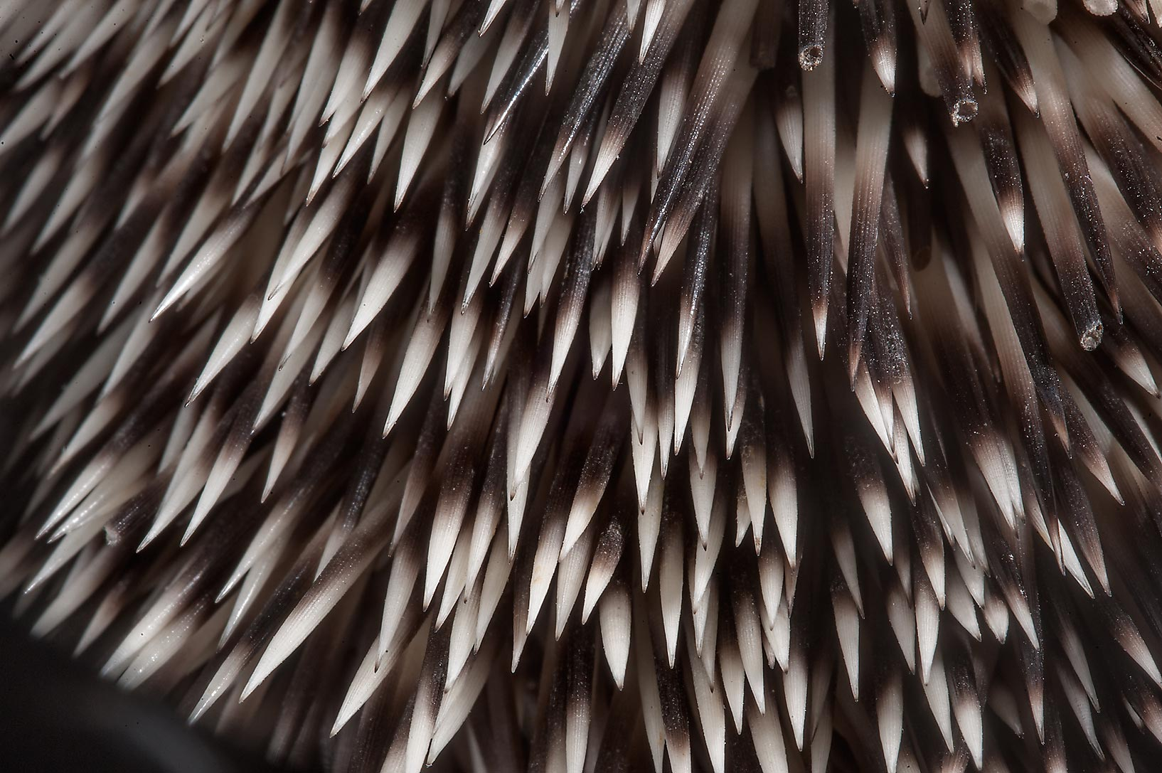 Needles of Ethiopian hedgehog (Paraechinus...RAFRS) near Al Zubara Rd.. Qatar