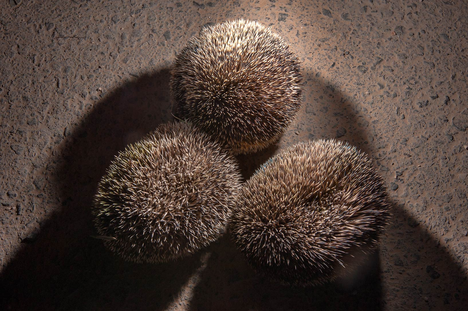 Ethiopian hedgehogs rolled into prickly balls in...Natural History Group (QNHG). Qatar