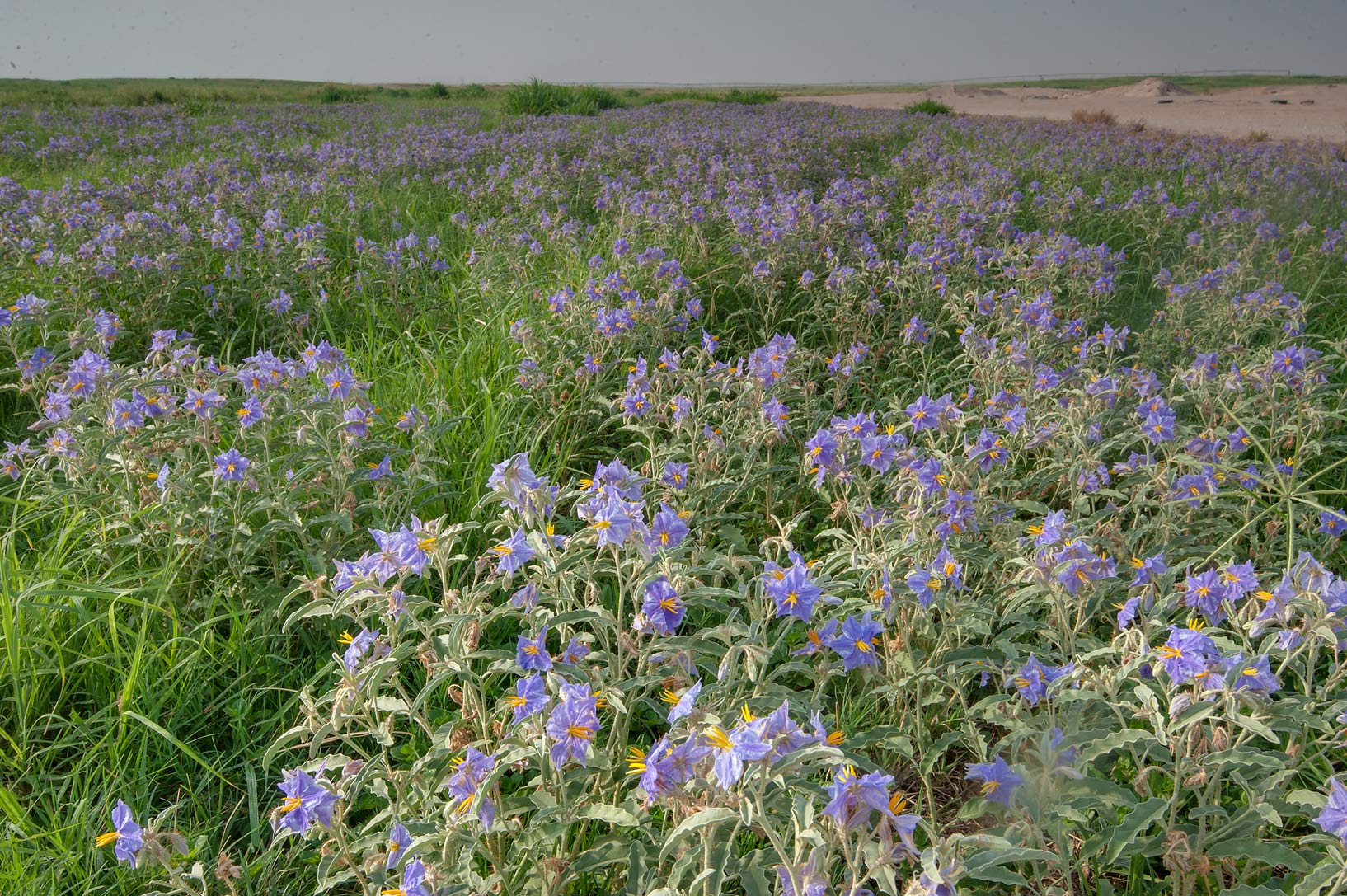Silverleaf Nightshade Search In Pictures