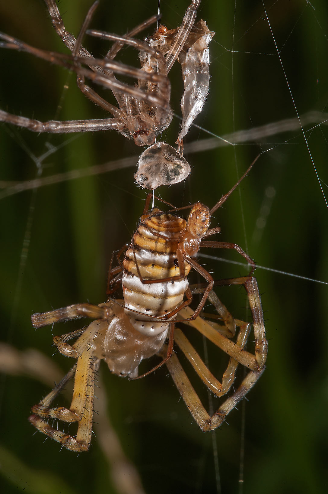 Two mating yellow garden spiders (Argiope...in Irkhaya (Irkaya) Farms. Qatar