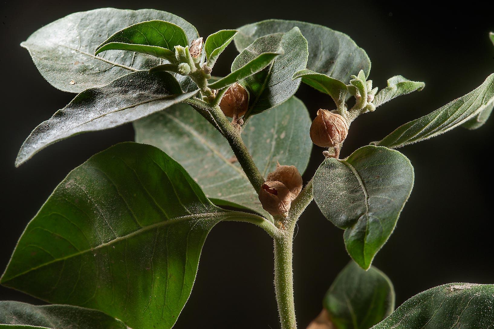 Photo 1612-02: Ashwagandha plant (Withania somnifera ...