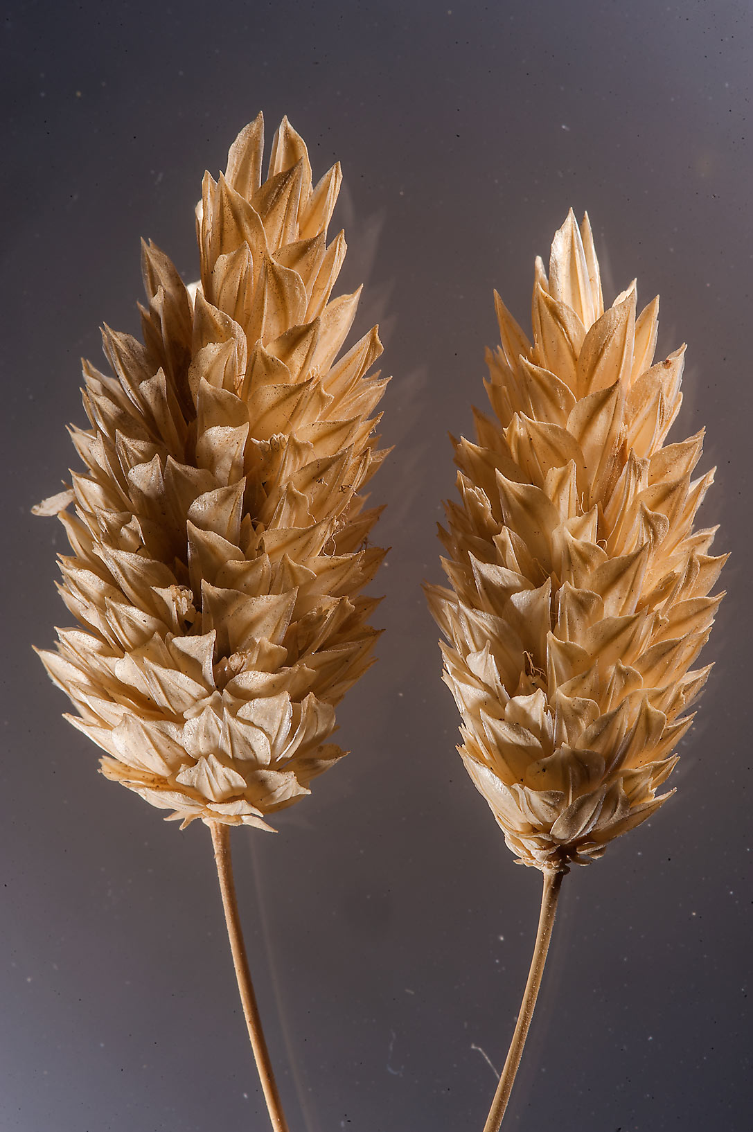 Spikelets of little seed canary grass (Phalaris...Eithar St. in Onaiza area. Doha, Qatar