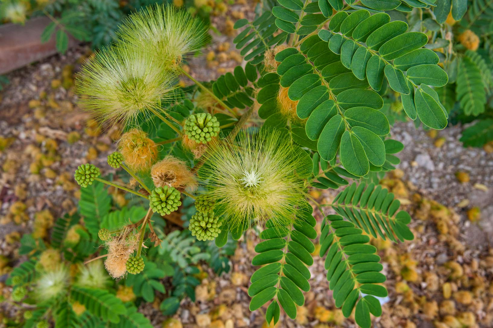 Silky flowers of frywood tree (Albizia lebbeck...Saha 15 in Onaiza area. Doha, Qatar