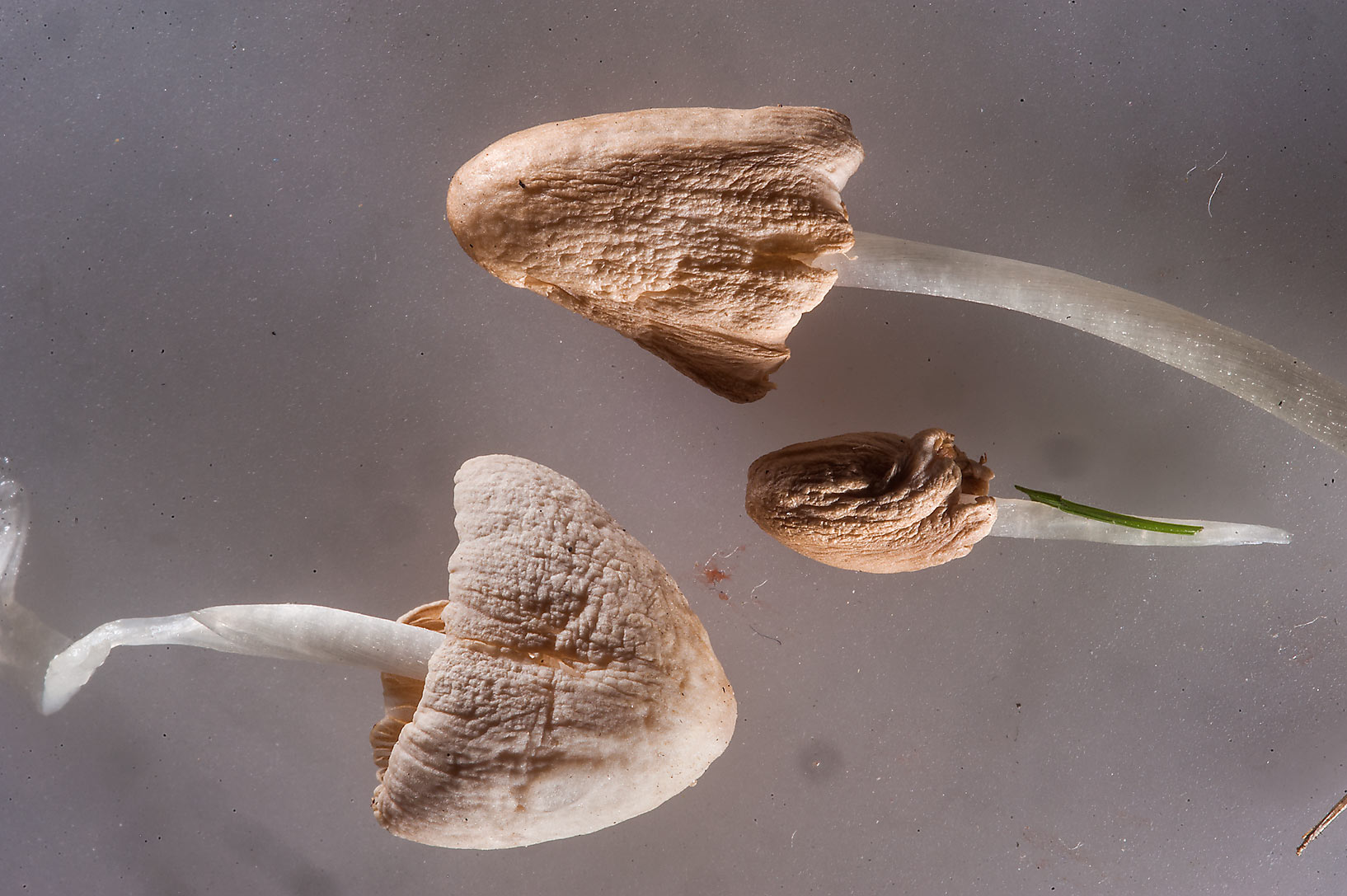 Small fragile toadstools (milky conecap, white...from a lawn on Corniche. Doha, Qatar